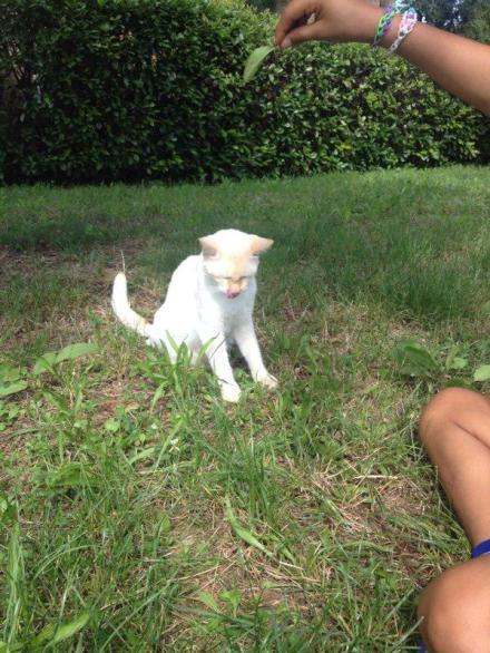 Un gatto panna dagli occhi blu